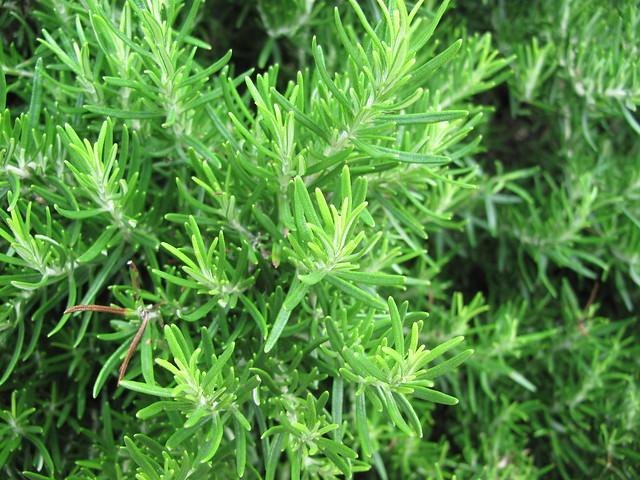 Fresh Croatian Rosemary