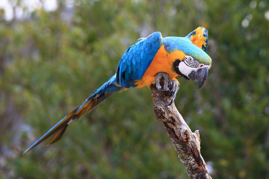 Blueandgold Macaw  Ara ararauna