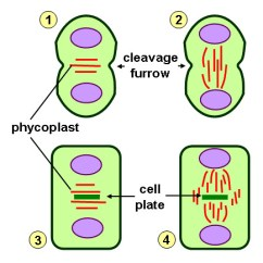Diagram Of Mitosis An Animal Cell Use Data Flow Algae Cytokinesis | Schematic Representation Diff… Flickr