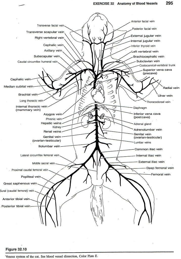 cat veins and arteries diagram cat venous system tanya