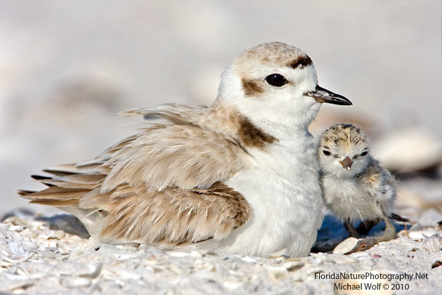 Cute Baby Wolf Wallpaper Snowy Plover Amp Newborn Chick 9950 The Already Endangered
