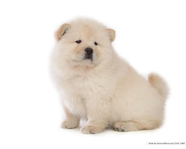 Cute Pomeranian Puppies Wallpaper Chow Chow Dog Wallpaper 85061 Walz1 Flickr