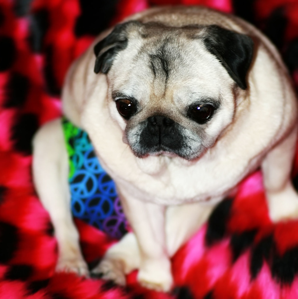 wheelchair jobs spring loaded chair rainbow peace pug panties | i've been sewing for bee… flickr