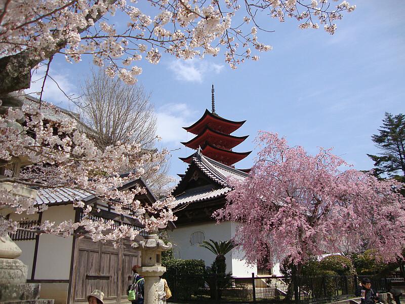 Falling Cherry Blossom Wallpaper Hd Pagoda On Miyajima Island Japan Surrounded By Cherry