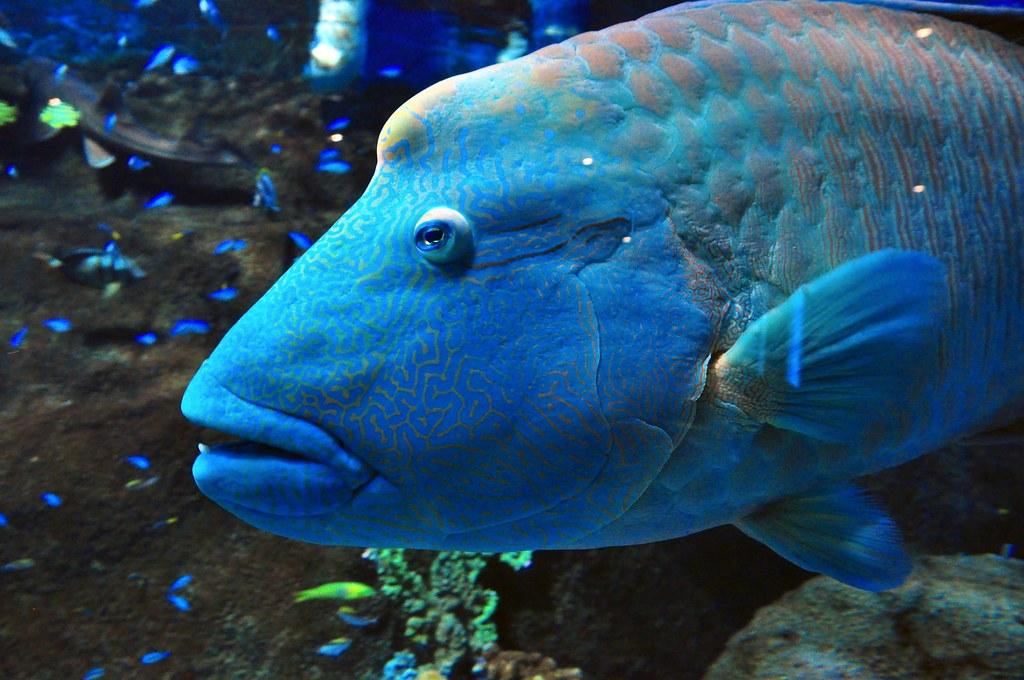 blue groper  Melbourne Aquarium  Ingvar Sverrisson  Flickr