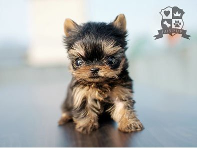 Teacup Size Yorkie Bringing The Cutest And The Tiniest