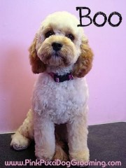 boo-cockapoo japanese style dog
