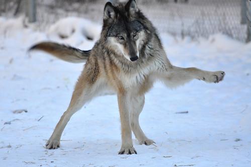 Wallpaper Predator 3d International Wolf Center Ely Mn Playful Gesture