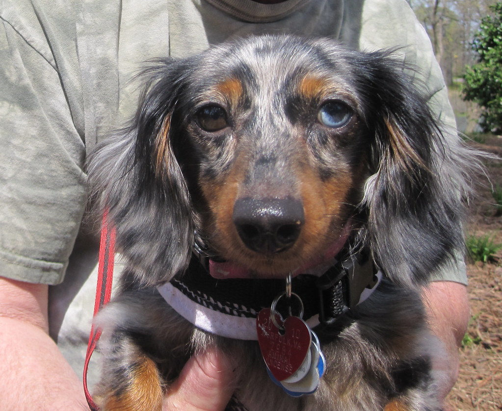 Dappled Doxie I Love This Dachshunds Face One Brown