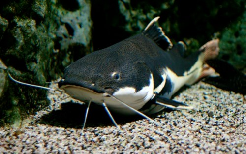 Red-tailed catfish © photojenni