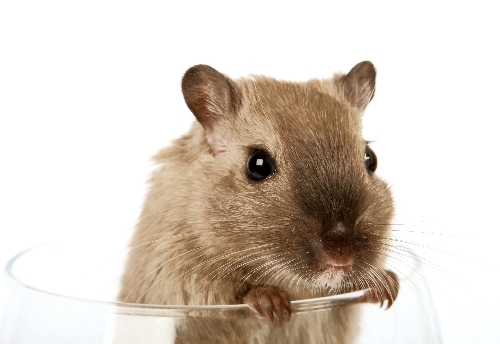 Cute And Happy Wallpapers Concept Photo Of A Pet Rodent In A Wine Glass Concept