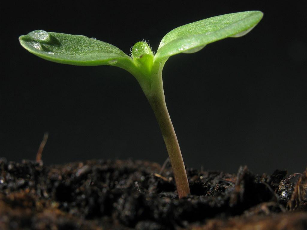 Sunflower Seedling Germ Bud Keimling S 228 Mling Sonnenbl