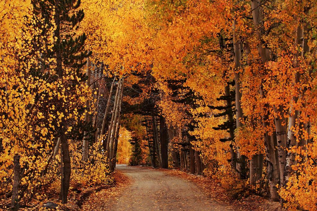 Fall Aspens Wallpaper Leaf Tunnel At North Lake Ca Crayola Snowdrifts For Miz