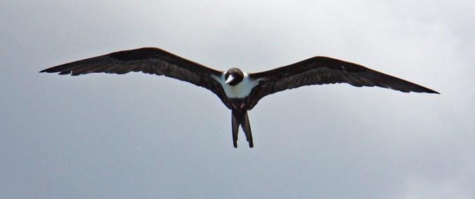 Image result for frigatebirds