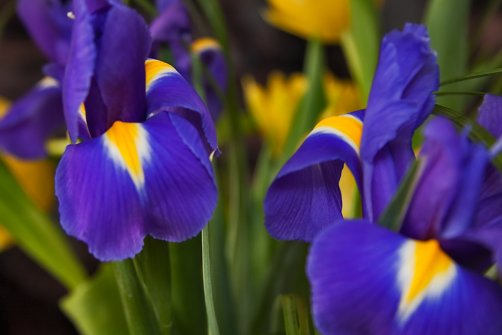 Two large English Iris flowers with tulips in the backgrou  Flickr