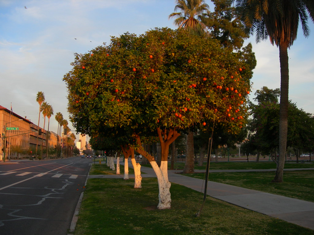 Phoenix Orange Trees  Located on the grounds of the Arizona  Flickr