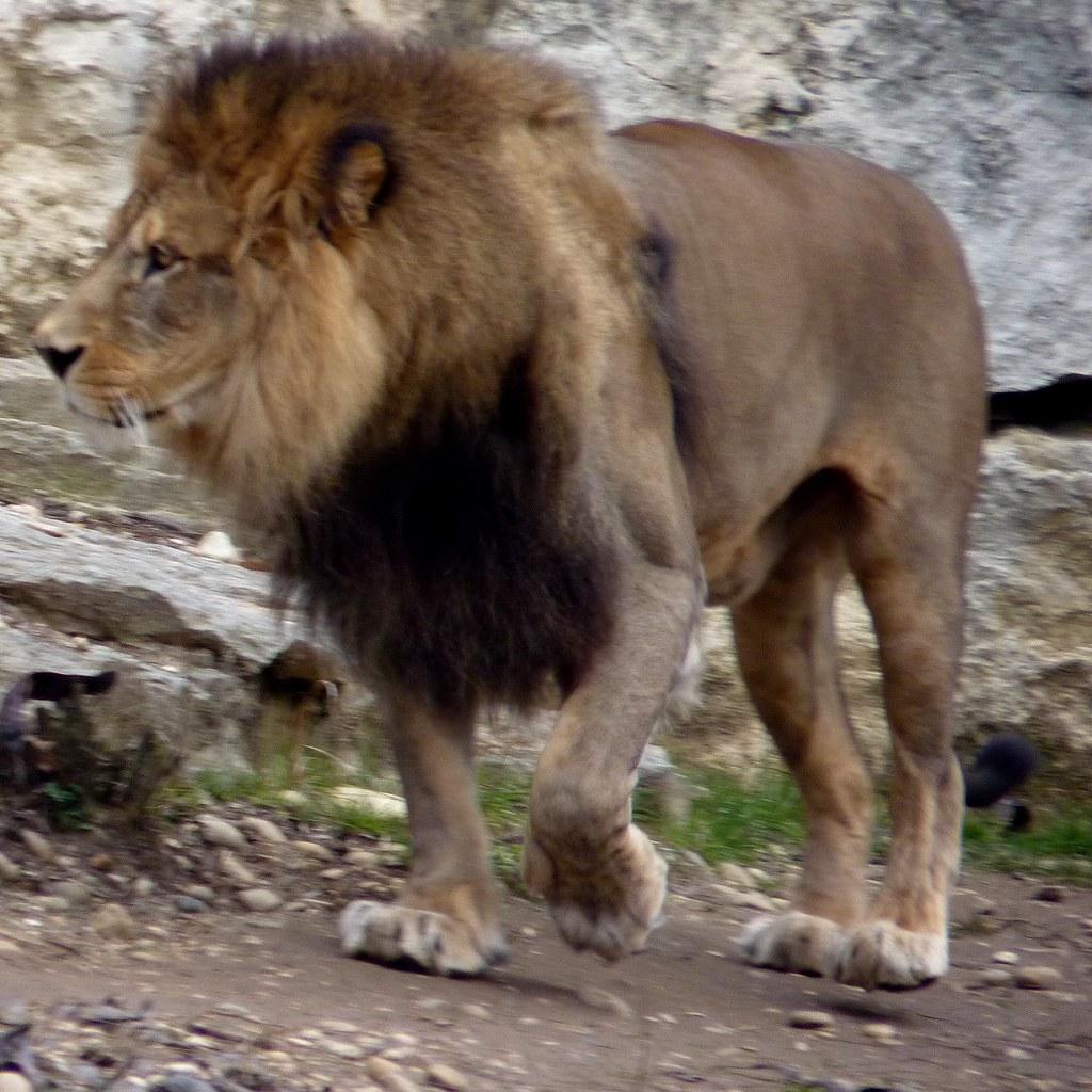 Lion de lAtlas  Le lion de lAtlas du Parc de la Tte d