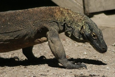 Komodo dragon, Komodo Island, Indonesia | I don't know if ...