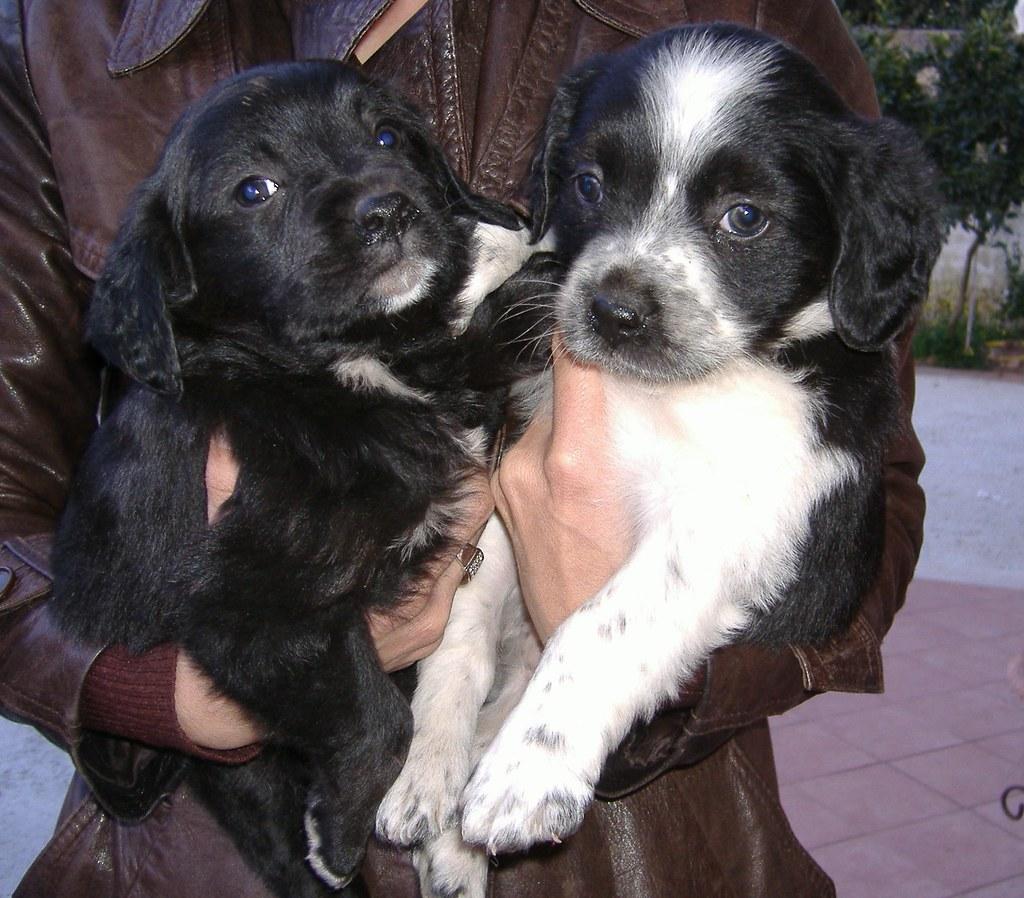 ADOTTATI cane cucciolo femmina incrocio bretontaglia med  Flickr