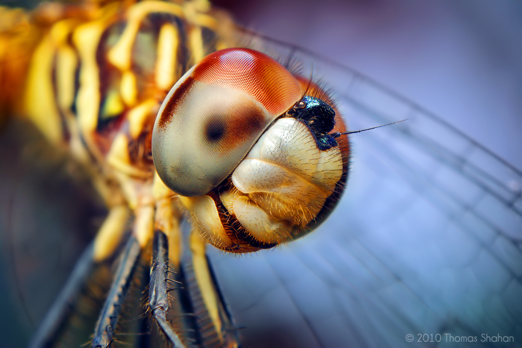 Super Hd Wallpapers Female Blue Dasher Dragonfly Pachydiplax Longipennis