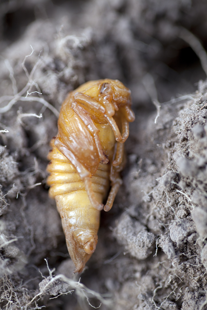 Cockchafer beetle pupa Melolontha melolontha