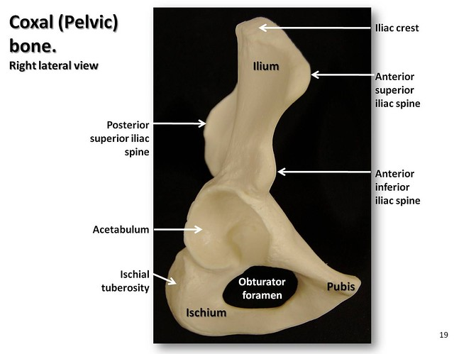 Diagram Of Bone With Labels Coxal Pelvic Bone Lateral View With Labels Appendicul