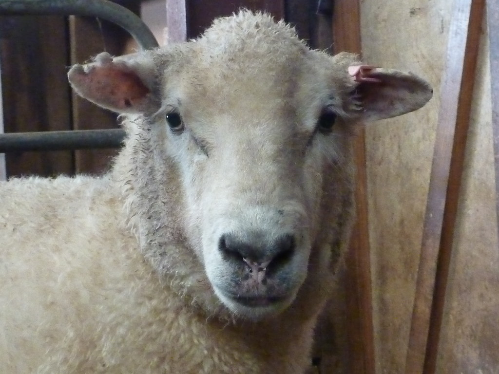 Sheeps face  brittgow  Flickr