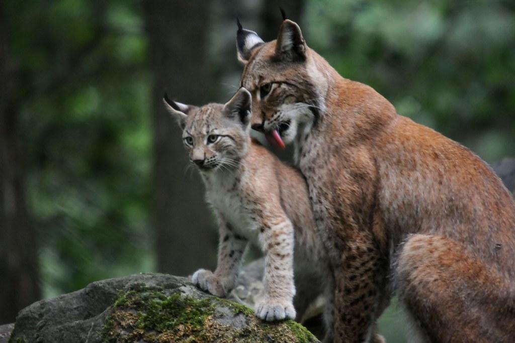 Cute White Baby Rabbits Wallpapers Lynx Lynx Die Luchse Haben Junge Luchs Lynx Lynx
