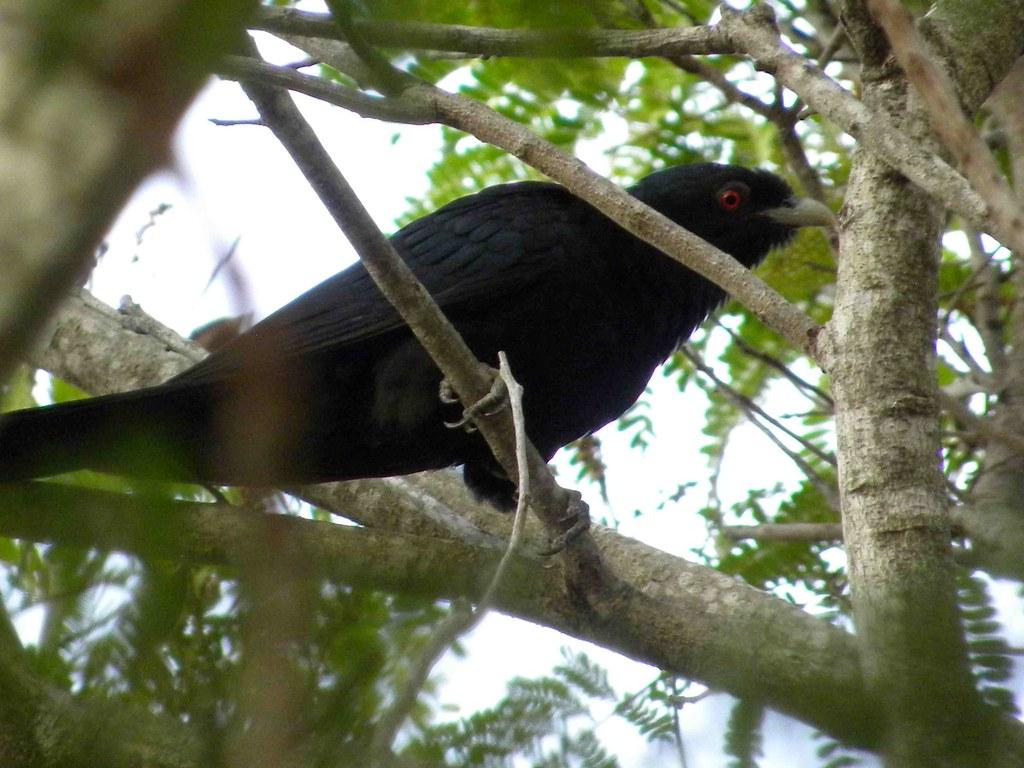 Common Koel or Storm bird male  The elusive stormbird