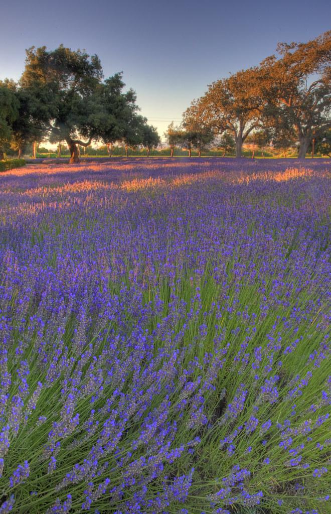 _MG_3023 Clairmont Farms Lavender Farm in Los Olivos CA