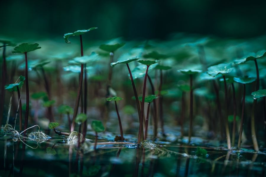 A cluster of green water lillies on the water\'s surface.