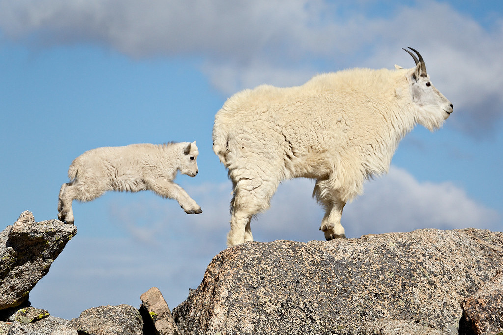 Cute Goat Wallpaper Leap Of Faith I M Excited That This Image Has Been Named