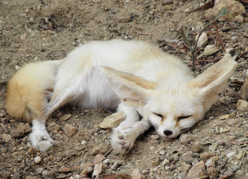 Fennec Fox A Desert Fox At Friguia Wildlife Park