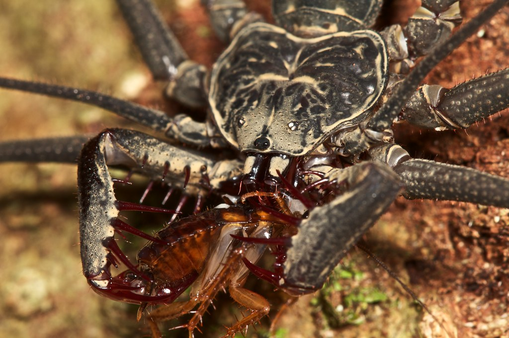 Tailless whip spider Heterophrynus alces with cockroach