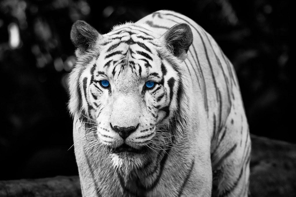 Color Key Week  The Eye Of The Tiger  Roooaaar Run be