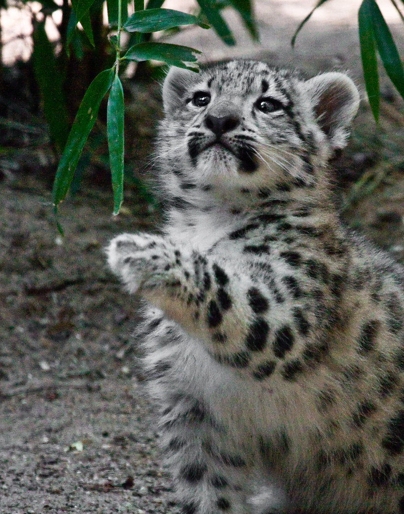 Cute Cubs Wallpaper Snow Leopard Cub 169 2010 Melvin Markowitz All Rights