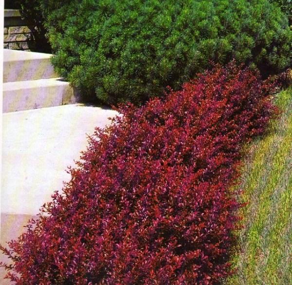 barberry crimson pygmy
