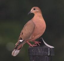 Tortola Cardosantera-zenaida Dove-zenaida Aurita Esta