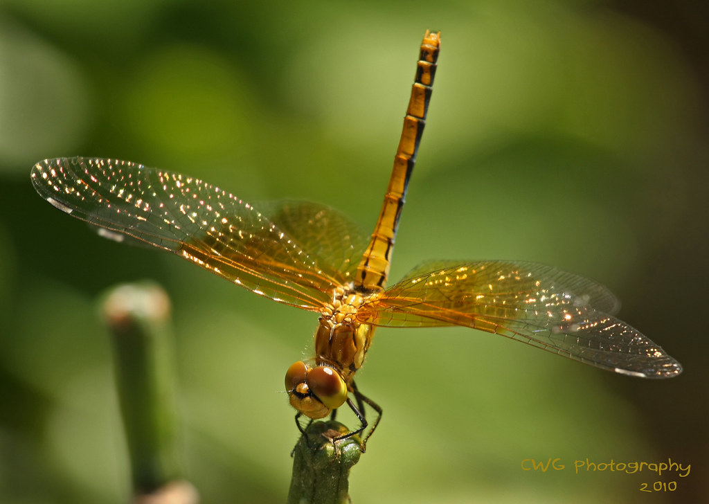 Gold Dragonfly 1  Chas Gordon  Flickr