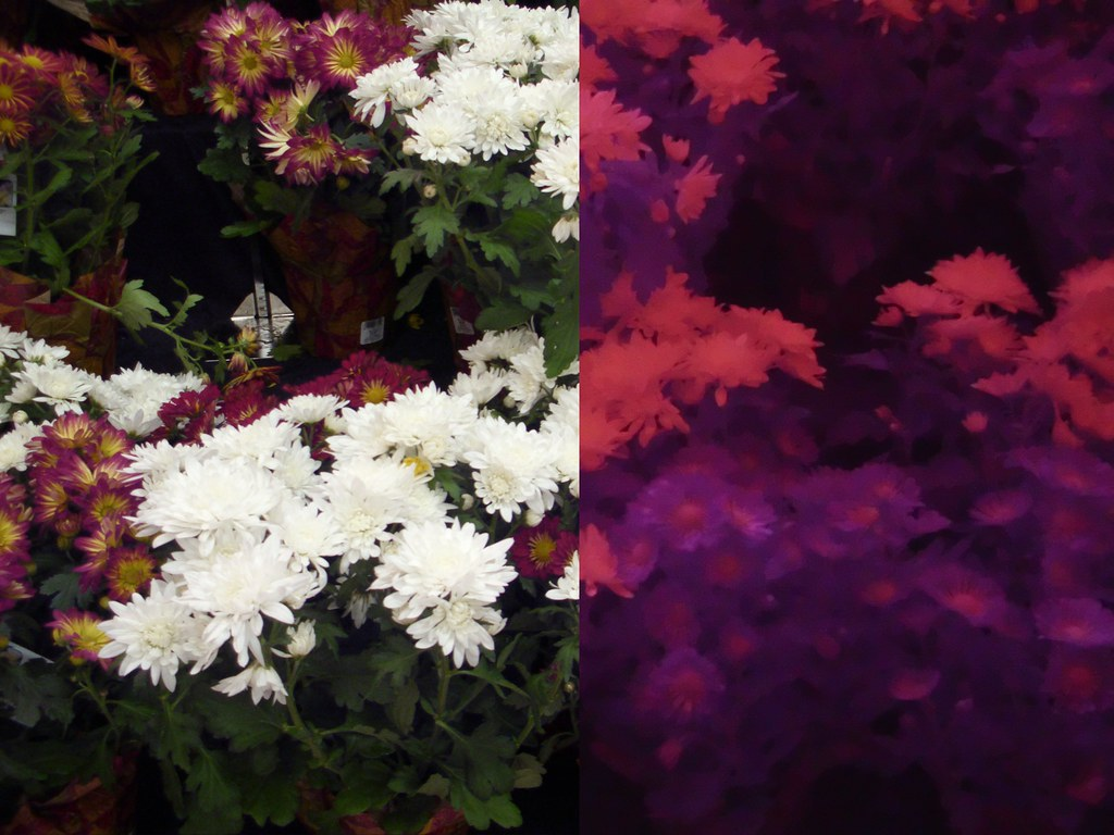Infrared vs visible light photo of flowers  i removed the