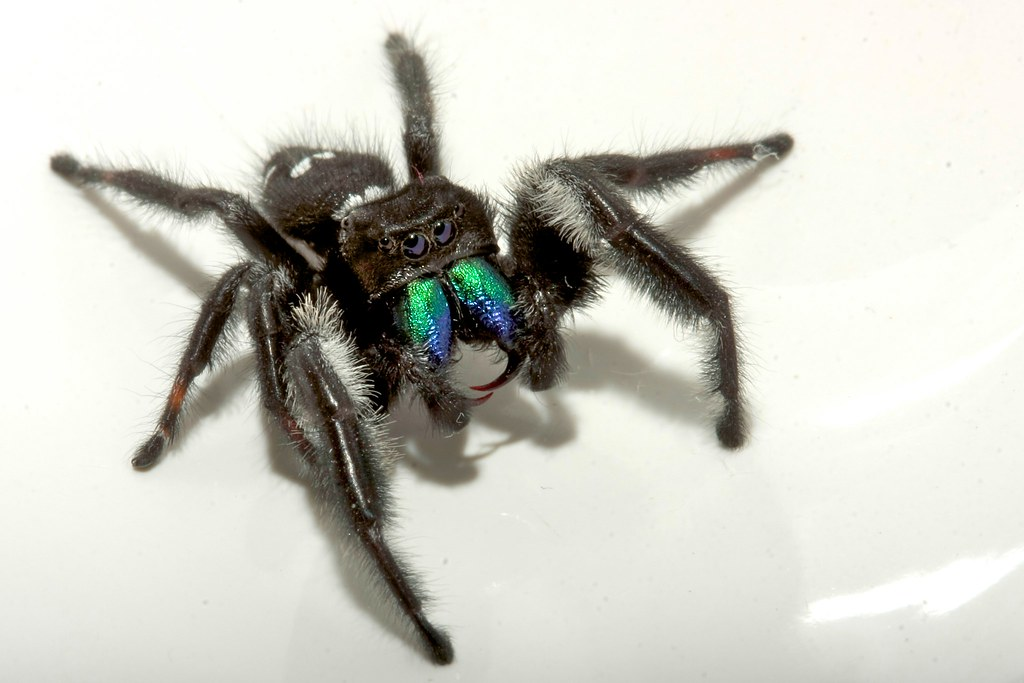 FANGS  Caught this Daring Jumping Spider in my office