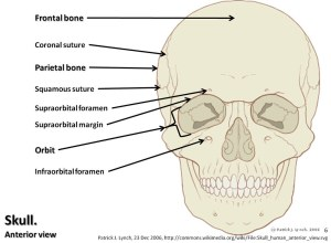 Skull diagram, anterior view with labels part 1  Axial Sk