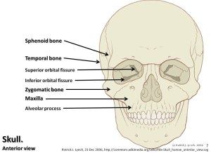 Skull diagram, anterior view with labels part 2  Axial Sk