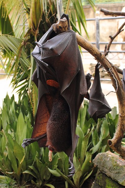 Kotender Kalong-Flughund / Defecating Greater Flying Fox ...