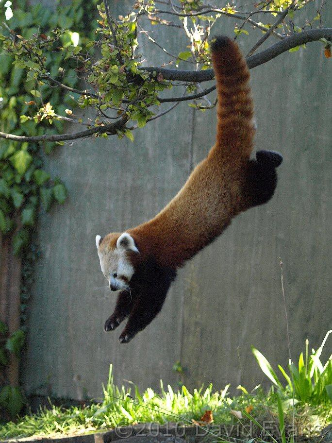 Chester Zoo  Red panda 171010  Normally Pali is quiet up  Flickr