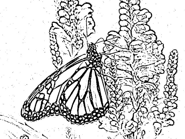 Monarch Butterfly Into Obedient Plant Blooms Line Drawing