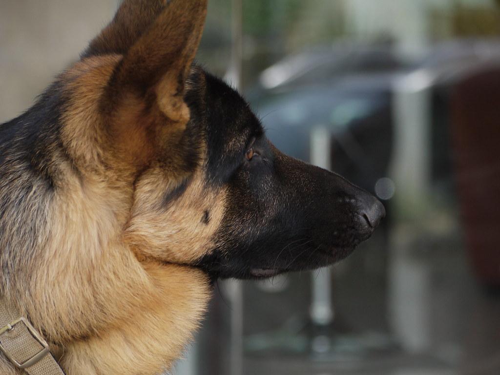 Wallpapers Hd Iphone 7 The Dogs German Shepherd Argos Is Our German Shepherd