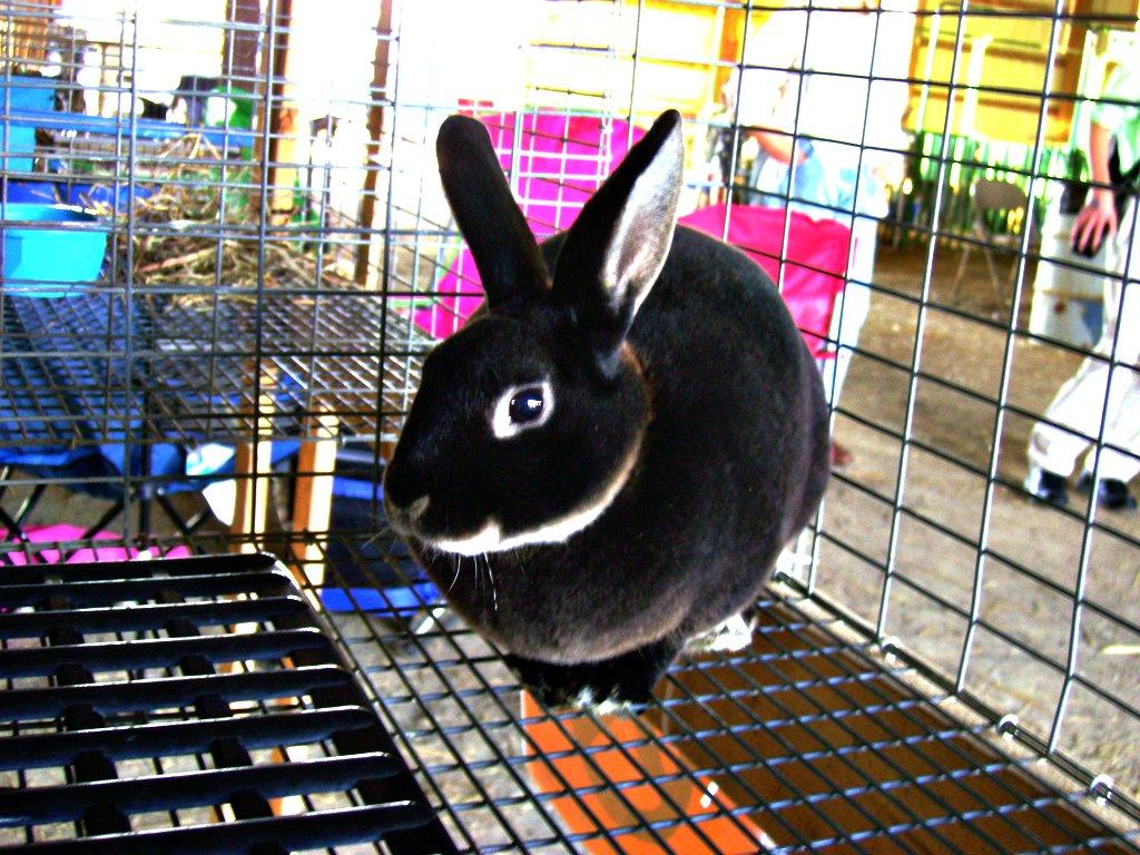 4h Rabbit 2