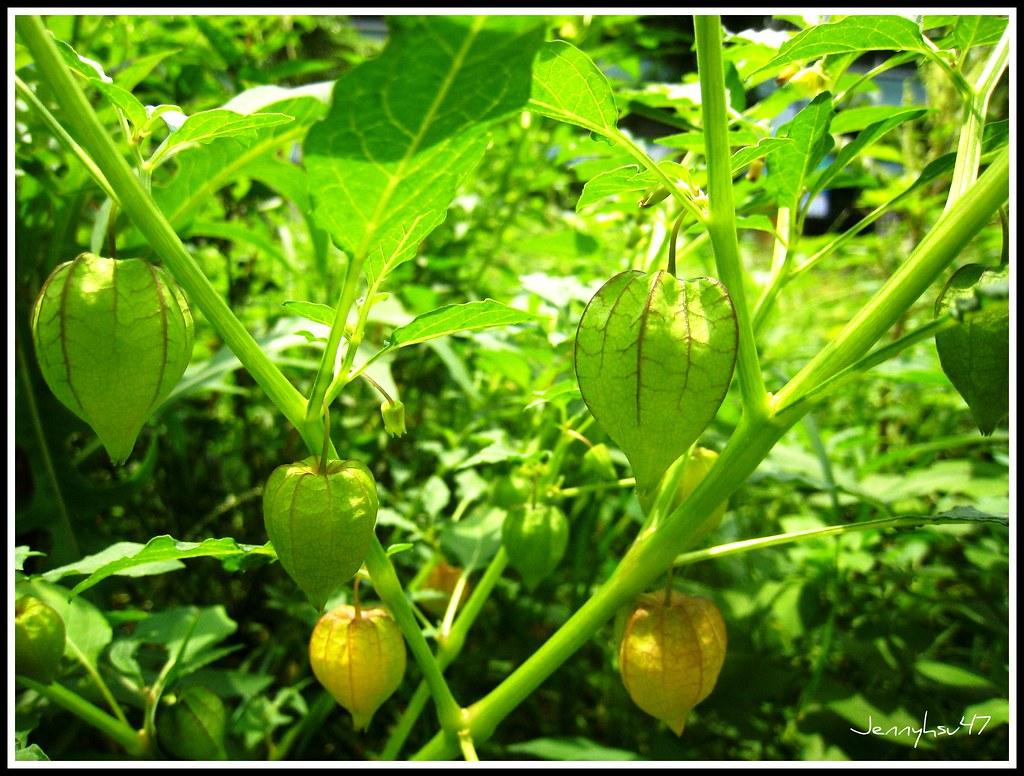 Cut-leaf Ground Berry-- 燈籠草/苦蘵01 | 燈籠草/ 苦蘵/ 英文名稱:Cut-leaf Gr… | Flickr