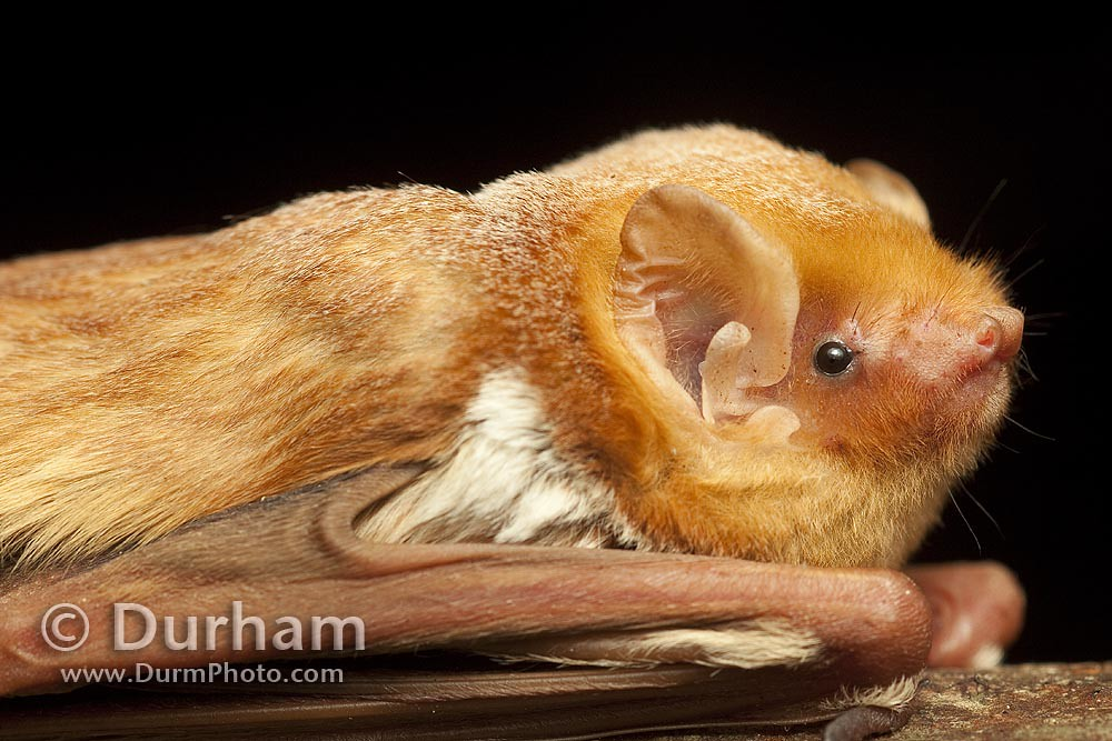 Eastern Red Bat Lasiurus Borealis Male Eastern Red
